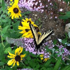 Butterfly @ black eyed susans