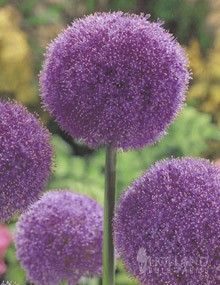 Allium Giganteum - Click image to find more Gardening Pinterest pins