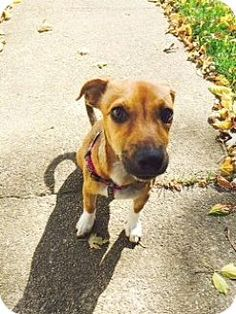 Wilmington, OH - Dachshund/Jack Russell Terrier Mix. Meet Luna, a dog for adoption. http://www.adoptapet.com/pet/11792972-wilmington-ohio-dachshund-mix