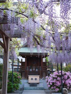 Wisteria enrejado del Santuario Fukushima-Ku Osaka