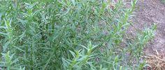 Tárkony (Artemisia dracunculus) - Természet Patikája Egyesület