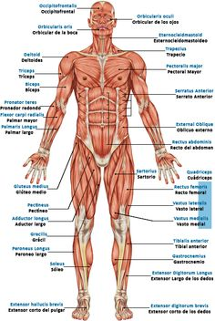 human muscles diagram labeled front and back structure of eye with system b 209 muscular body muscle anatomy skeletal reflexology massage