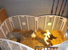 Duckling Care Amp Brooder Ideas Duckling Care Hatching Chickens Chickens Backyard