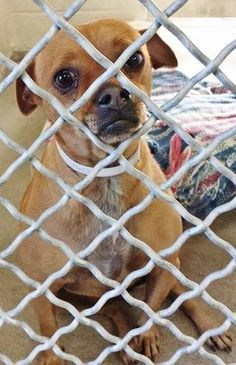 Beautiful SHAKIRA is 3 and so adorable. She is sad after being surrendered to the shelter but she is already spayed and can be saved today. Please take a look at her Video and SHARE, a FOSTER would save her life. Thanks!  #A4791460 My name is Shakira and I'm an approximately 3 year old female chihuahua sh. https://www.facebook.com/171850219654287/photos/pb.171850219654287.-2207520000.1421365391./358926887613285/?type=3&theater