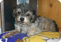"""Facts about Monty Breed: Shih Tzu Mix Color: Gray/Silver/Salt & Pepper - With Black Age: Senior Size: Small 25 lbs (11 kg) or less Sex: Male Monty's Info... I am already neutered, housetrained, a special needs pet, up to date with shots, good with kids, good with dogs, and good with cats.  Monty's Story... Monty is our charming senior and slight """"Special Needs"""" dog who anyone would be lucky to have in their home. He is a 9 lb, 12 or 13 yr old Shih Tzu mix. We rescued him from a high kill…"""