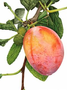 "Anna Mason Art | Plum 'Jubileum' Botanical print from an original watercolor £95,  12"" x 16"", Shipped worldwide http://annamasonart.com"