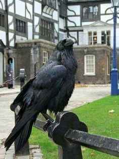 Tower of London, Raven. Eight ravens are kept at the Tower of London. Their wings are clipped so they can't fly away. Legend has it that failing to have Ravens reside at the Tower will cause it to crumble and a terrible disaster shall befall England. Quoth The Raven, Raven Bird, Raven Wings, Les Continents, Jackdaw, Crows Ravens, England And Scotland, Tower Of London, Tier Fotos