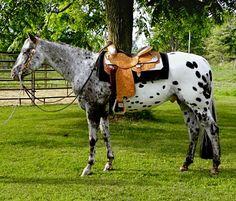 Appaloosa gelding, Good Mister Mac. Western pleasure.