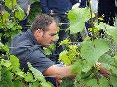 Le remontage et palissage des vignes - Domaine Jean-Marc Brocard #GourmetOdyssey