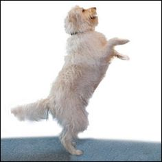 Teaching Your Dog to Jump