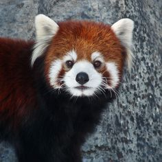 SERIOUSLY red panda.