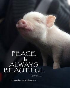 Love Charming Mini Pigs
