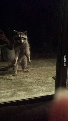 My daily, late-night visitor. He taps on the window if I'm not awake to greet him.
