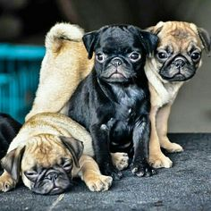 """The Gang of #Cuteness is here!""   www.jointhepugs.com  #pug #pugpower #dogs #pugsnotdrugs #pugpuppy #puglove #cuteness #puglover"