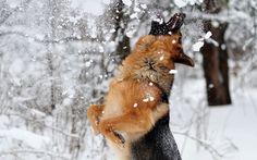 German Shepherd eating Snow!
