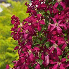 Clematis wisley white flower farm 9f vine 5i bloom flower clematis wisley white flower farm 9f vine 5i bloom flower clematis pinterest clematis white flower farm and flower farm mightylinksfo