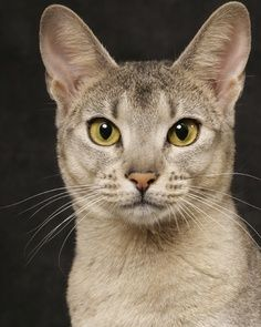 See more on Appearance and Coat colors Abyssinian Cats