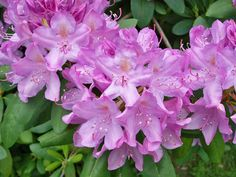 Lilac colored Rhododendron near the house