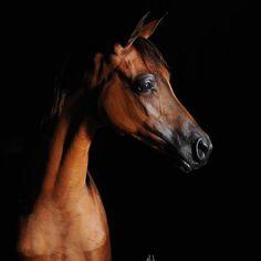 Horse Face Photography | ALEXI MI :: Mulawa Arabian Stud | Sydney Australia