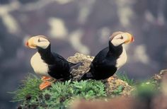 Horned puffins birds