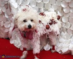 Fredda: Dixie Puff the Magic Crested is a 3 year old pure bred Chinese Crested. The idea came from looking through costumes for children and realizing that Dixie and spaghetti are...