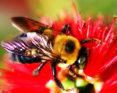 Carpenter Bee collecting pollen from a Bottle Brush bloom.