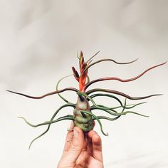 These Tillandsia 'bulbosa' air plants are among the most beautiful we've ever seen. Those electric red buds are just too much. Can't wait to see them open!