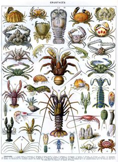 Antique Crustaceans Print French Ocean Larousse Crustaces Sea Life Marine Animals Zoology Crab Lobster Original Lithograph by catladycollectibles on Etsy Illustration Française, Antique Illustration, Botanical Illustration, Antique Prints, Vintage Prints, History Posters, Nature Posters, Life Poster, Art Vintage