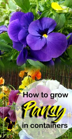 Growing Pansy flower, How to grow and caring of Pansy flower, growing pansies in pots, pest, and disease. pansies are cool weather favorite annual flowers. Container Flowers, Container Plants, Container Gardening, Gardening Tips, Vegetable Gardening, Flowers Garden, Flower Pots, Planting Flowers, Outdoor Flowers