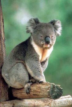{Koala ~