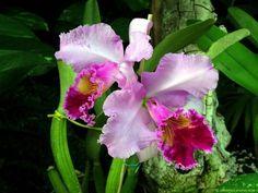 Orquidea colombiana - Flores y paisajes hermosos - enfemenino.com