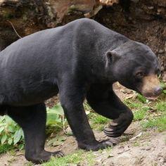 Maleischese beer