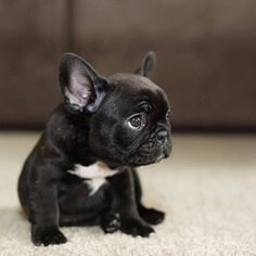 Just 20 Of The Cutest Mini French Bulldogs You Have Ever Seen - I Can Has Cheezburger?