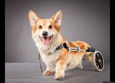 Duncan has a spinal disorder that many corgis are prone to. Even though he can't use his hind legs he is still extremely active. He throws toys across the room for himself to fetch, and his favorite treat is whipped cream.