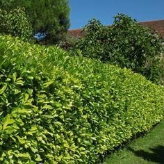 Kit hedge hedge of laurel-palme rotundifolia to m. Privacy Landscaping, Prunus, Plantation, Hedges, Stepping Stones, Landscape, Outdoor Decor, Garden Ideas, Garden
