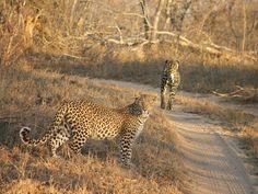 Carnivore filled game drives at Cheetah Plains...