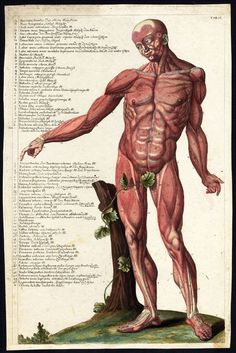 Antique Print Human Anatomy Muscles Man Biceps Triceps Quadriceps 1750 | eBay
