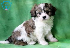This darling boy is ready to be the loving, loyal companion that you are looking for! He is a gorgeous Cavachon puppy who is very social and friendly as Cavachon Puppies, Cavapoo, Cute Dogs And Puppies, Puppies For Sale, Doggies, Puppy Love, Adorable Pictures, Pets, Oakley