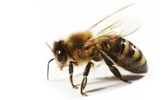 Bee Venom applied to the face helps for a perfect complexion..said no one ever. Google it, you might be surprised!