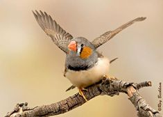 The Timor Zebra finch is a subspecies of the Australian race of Zebra finch. Distinct in many ways from its Australian cousin and so much so that they could be considered another species. While not universally recognized as a separate species, they are clearly on their way to such differentiation. They are more than just a smaller version of the more popular Australian Zebra finch.
