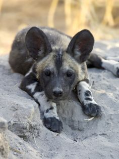 AFRICAN WILD DOG PAINTINGS | African Wild Dog (Lycaon Pictus) Six to Eight Week Old Pup, Okavango ...