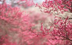 cherry blossoms / spring | Tumblr