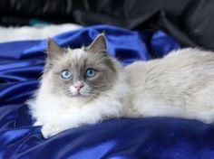 Ragdoll Cat - Blue Mitted - Female  http://springvaledolls.com/