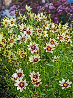 """Coreopsis Redshift   Tickseed Height: Medium 36""""   Plant 18"""" apart   Bloom Time: Early Summer to Fall   Sun-Shade: Full Sun   Zones: 4-9    Soil Condition: Normal, Sandy   Flower Color / Accent: Yellow / Mixed"""
