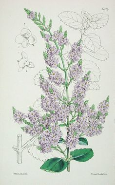 The Curtis Botanical Magazine Veronica (Hebe), Veronica hulkeana No. 5484, (Volume 90, 1864) - Veronica (Hebe)