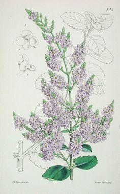 The Curtis Botanical Magazine Veronica (Hebe), Veronica hulkeana No. 5484, (Volume 90, 1864) - Veronica (Hebe)
