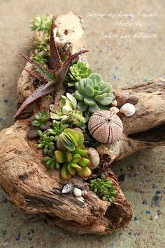Succulent Driftwood Designs – Succulents and Succulent Garden Design Debra Lee Baldwin Succulents In Containers, Cacti And Succulents, Planting Succulents, Planting Flowers, Propagate Succulents, Succulent Gardening, Succulent Terrarium, Garden Terrarium, Indoor Gardening