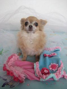 Carmen - 2.2.2014 Chihuahua Love, Dogs, Animals, Animales, Animaux, Pet Dogs, Doggies, Animal, Animais