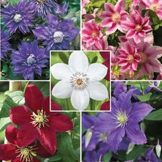 Thanks to its wide and impressive flowers, Clematis belong to the classical ornamental plants and at the same time its ability to grow quickly with healthy flowers, ranks it at the top of the climbing plants. Clematis Trellis, Clematis Plants, Flowers Perennials, Garden Trellis, Climbing Flowers, Climbing Vines, Climbing Clematis, Home Design, Garden Yard Ideas