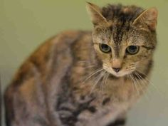 NYC **Abandoned SWEET Kitten TO BE DESTROYED 02/24/15 FREDONIA rubbed her back against my hands & was easy to handle. She & Albany, Binghamton, and Cortland were left in the lobby in small cardboard boxes that were taped up very tightly.. ID #A1027243. Female torbie about 10 MONTHS old. ABANDONED. I came in with Group/Litter #K15-003242 https://www.facebook.com/nycurgentcats/photos/a.959868844031103.1073742603.220724831278845/959868877364433/?type=3&theater